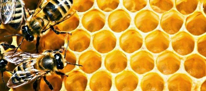 Пчела потребляет мед в месяц