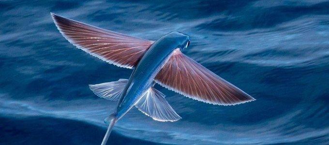 Интересные факты из жизни летающих рыб
