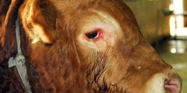 Удивительная история на скотобойне