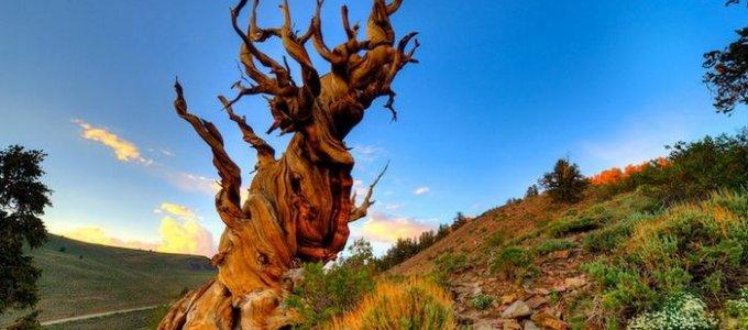 Необычное дерево - Мафусаил