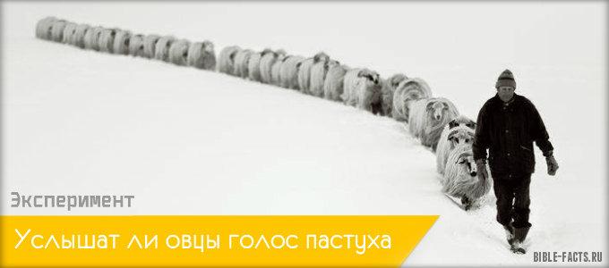 Услышат ли овцы голос пастуха - Эксперимент