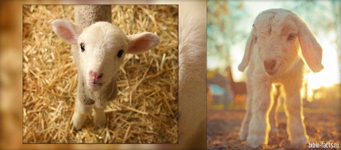 Пастырь и овцы - интересные факты
