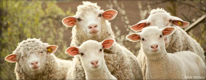 Интересные факты из жизни овец