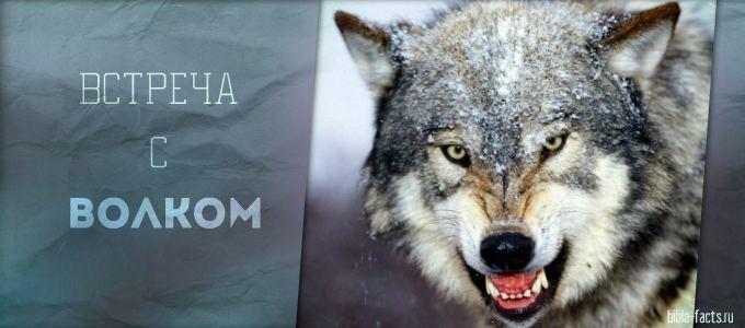 Моя встреча с волком