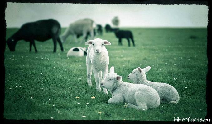 Новые интересные факты - пастырь и овцы