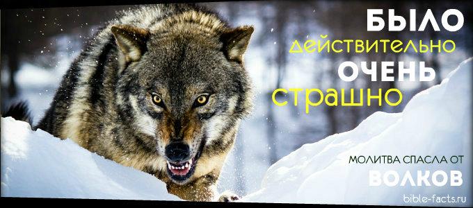 Волки хотели напасть, но произошло нечто невероятное
