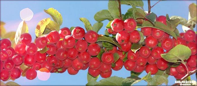 Интересные райские яблоки