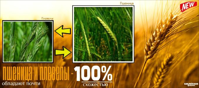 Пшеница и плевелы - интересный факт